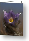 Odon Greeting Cards - Pulsatilla Greeting Card by Odon Czintos