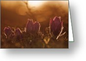 Pasque Flower Greeting Cards - Pulsatilla vulgaris Greeting Card by Rikard  Olsson