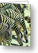 Waterhole Greeting Cards - Punda Milia 3 Greeting Card by Douglas Barnard