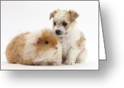 Bichon Greeting Cards - Pup And Guinea Pig Greeting Card by Mark Taylor