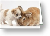 Bichon Greeting Cards - Pup And Rabbit Greeting Card by Mark Taylor