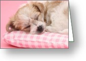 Bichon Greeting Cards - Pup Asleep On Cushion Greeting Card by Mark Taylor