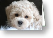 Dog Prints Photo Greeting Cards - Puppy Dog Eyes Greeting Card by Lisa  DiFruscio
