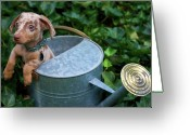 Inside Of Greeting Cards - Puppy In A Watering Can Greeting Card by Kim Fearheiley Photography