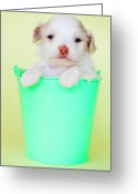 Yellow Dog Greeting Cards - Puppy In Bucket Greeting Card by Amy Lane Photography