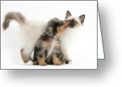 Cross Breed Greeting Cards - Puppy Licking Kitten Greeting Card by Mark Taylor