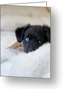 Indoors Greeting Cards - Puppy Lying On Soft Blanket Greeting Card by Angela Auclair