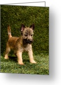 Cairn Terrier Greeting Cards - Puppy On Background Greeting Card by Catherine Ledner