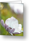 Abstract Impressionism Photo Greeting Cards - Pure Petals Greeting Card by Karol  Livote