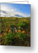 Balsamroot Greeting Cards - Purple and  Gold Greeting Card by Mike  Dawson