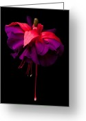 Fushia Greeting Cards - Purple and Pink Beauty Greeting Card by Dawn OConnor