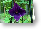 Homesickness Greeting Cards - Purple Clematis henryi Greeting Card by Douglas Barnett