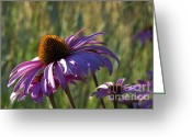 Backlit Greeting Cards - Purple Cone Flower backlit Greeting Card by Sharon  Talson