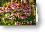 Prairie Native Greeting Cards - Purple Coneflower Greeting Card by Steve Gadomski