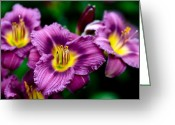 Lilies Greeting Cards - Purple Day Lillies Greeting Card by Marilyn Hunt