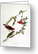 Drawing Of Bird Greeting Cards - Purple Finch Greeting Card by John James Audubon