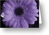 Gerber Greeting Cards - Purple Gerber Greeting Card by David  Hubbs