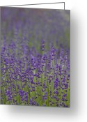 Fragrant Flowers Greeting Cards - Purple Haze Greeting Card by Rebecca Cozart