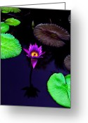 Purple Floral Greeting Cards - Purple Lily Greeting Card by Gary Dean Mercer Clark