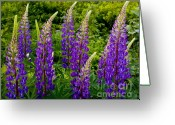 Grafton County Greeting Cards - Purple Lupines Greeting Card by Susan Cole Kelly