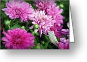 Autumn Photographs Greeting Cards - Purple Mums Greeting Card by Cricket Hackmann