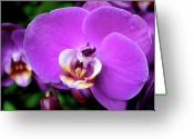 Orchids Greeting Cards - Purple Orchid Greeting Card by Rona Black