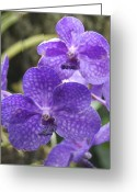 Conservatory Photo Greeting Cards - Purple Orchids Greeting Card by Michael Peychich