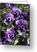 Purples Greeting Cards - Purple Pansies Greeting Card by Carol Groenen