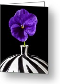 Striped Greeting Cards - Purple Pansy Greeting Card by Garry Gay