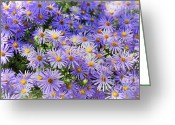 Aster  Photo Greeting Cards - Purple Reigns Greeting Card by Joan Carroll