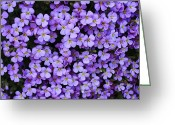 Tiny Flowers Greeting Cards - Purple Rockcress Greeting Card by Carol Groenen