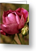 Purple Greeting Cards - Purple Rose Greeting Card by Cathie Tyler