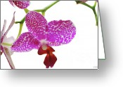 Phalaenopsis Orchid Greeting Cards - Purple Spotted Orchid on White Greeting Card by Heather Kirk