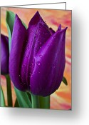 Tulip Greeting Cards - Purple Tulip Greeting Card by Garry Gay