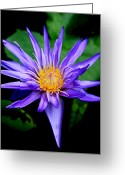 Water Lilly Greeting Cards - Purple Water Lily Greeting Card by Steve McKinzie