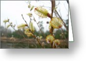Pussy Willow Blooms Greeting Cards - Pussy Willow Blossoms Greeting Card by Kent Lorentzen