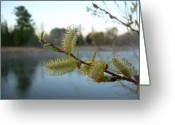 Pussy Willow Blooms Greeting Cards - Pussy Willow Flowers Greeting Card by Kent Lorentzen