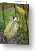Pussy Willow Blooms Greeting Cards - Pussy willow  Greeting Card by Susan Baker