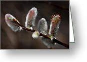 Grand Memories Greeting Cards - Pussy Willows Greeting Card by John Haldane