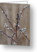 Pussy Willow Branches Greeting Cards - Pussy Willows Greeting Card by Patricia  Paterson