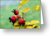 Red Photographs Greeting Cards - Pyracantha Berries Life Greeting Card by Ms Judi