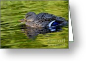 Reflections In Water Greeting Cards - Quack Greeting Card by Sharon  Talson