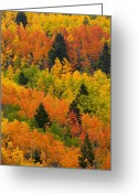 Autumn Scenes Photo Greeting Cards - Quaking Aspen And Ponderosa Pine Trees Greeting Card by Ralph Lee Hopkins
