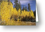 C Casch Greeting Cards - Quaking Aspen Grove In Sierra Nevada Mountains Greeting Card by C Casch