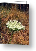 Beachy Greeting Cards - Queen Annes Lace on the Beach Greeting Card by Michelle Calkins