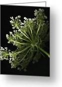 Anne Greeting Cards - Queen Annes Lace Greeting Card by Tamara Stoneburner