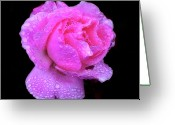 Cornwall Greeting Cards - Queen Elizabeth Rose After Heavy Rainfall Greeting Card by DSW Creative Photography