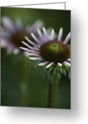 Cone Flower Greeting Cards - Queen Greeting Card by Rebecca Cozart