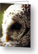 Barred Owl Greeting Cards - Quiet Moment Greeting Card by Larysa Luciw