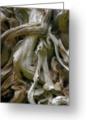Exposed Greeting Cards - Quinault Valley Olympic Peninsula WA - Exposed Root Structure of a Giant Tree Greeting Card by Christine Till